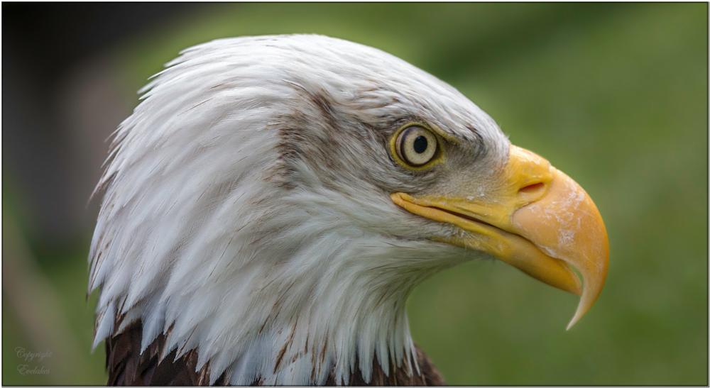Photo in Animal #eagle #headshot #bald eagle #bird