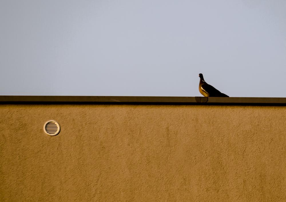 Photo in Urban #pigeon #roof #wall