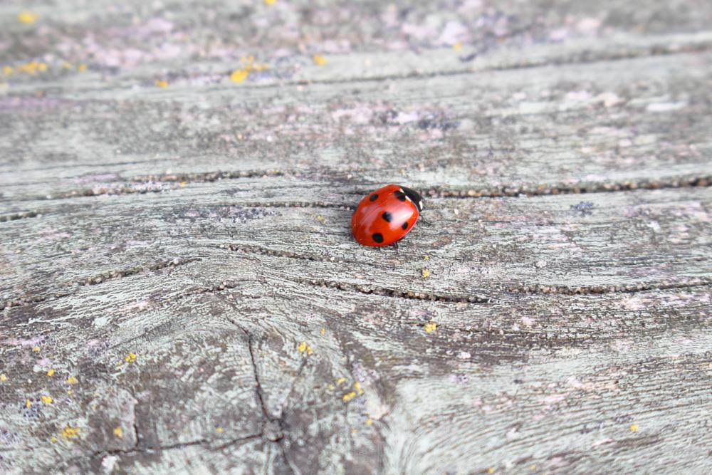 Photo in Macro #ladybird #ladybug #macro