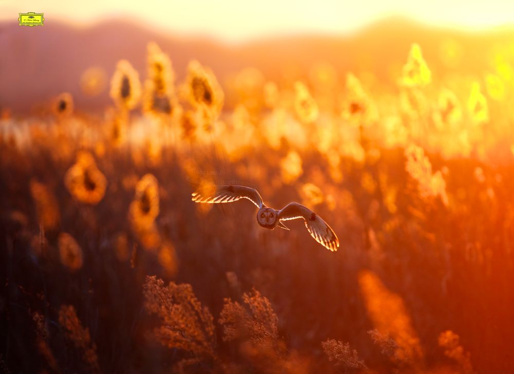 Photo in Nature #short #eared #owl #fly #sunset