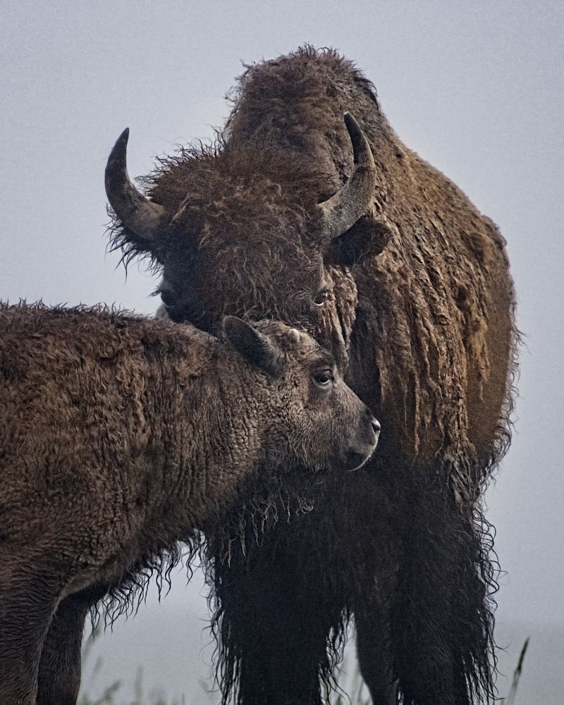 Photo in Animal #bison #mother #calf #dawn #yellowstone #morning light #hair.wet #fog