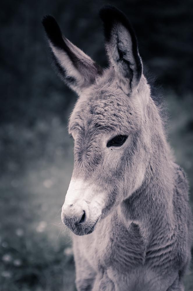 Photo in Animal #animal #donkey #alps