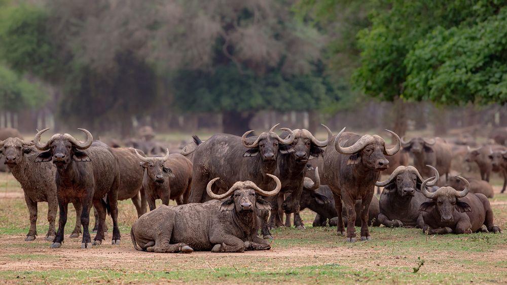 Photo in Animal #2017 #natur #nature #sambia #zambia #africa #afrika #lower zambezi #thomas retterath #wildlife #adventure #african buffalo #big five #büffel #bovidae #pflanzenfresser #herbivore #säugetier #mammals #animals #tiere #syncerus caffer