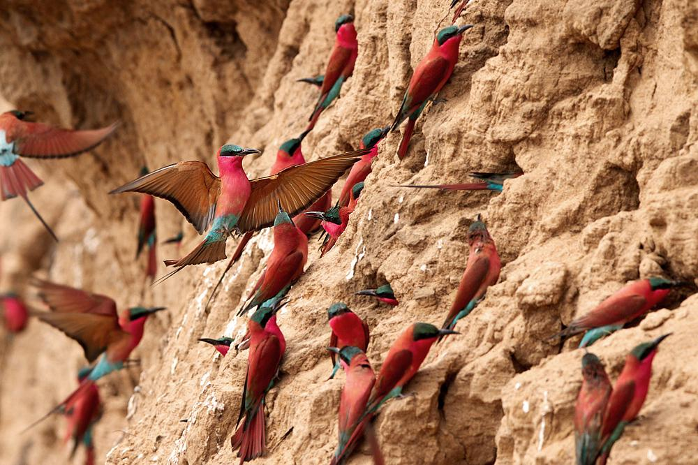 Photo in Animal #southern carmine bee-eaters #south luangwa np #zambia #birds #landing #colony