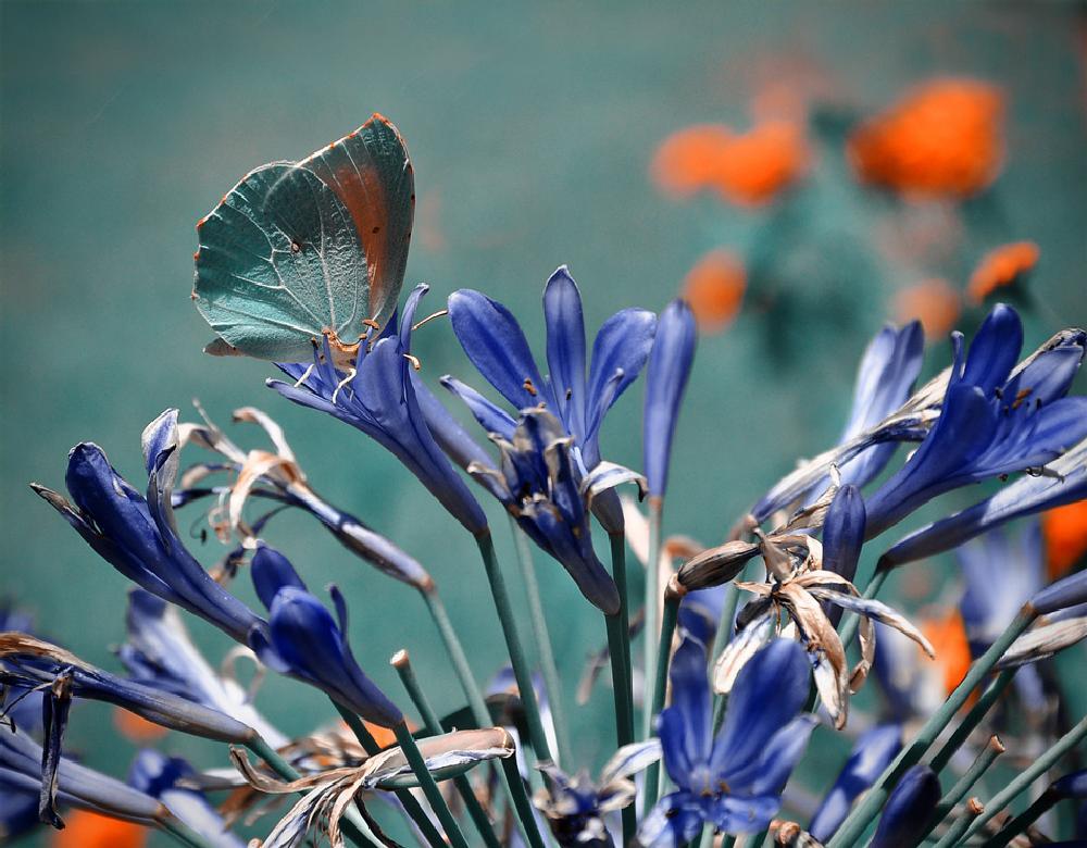 Photo in Macro #butterfly #blue #flower #orange