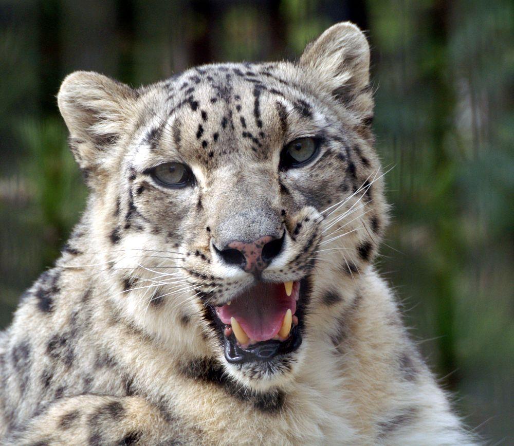 Photo in Animal #animal #snow leopard #cat #big cat