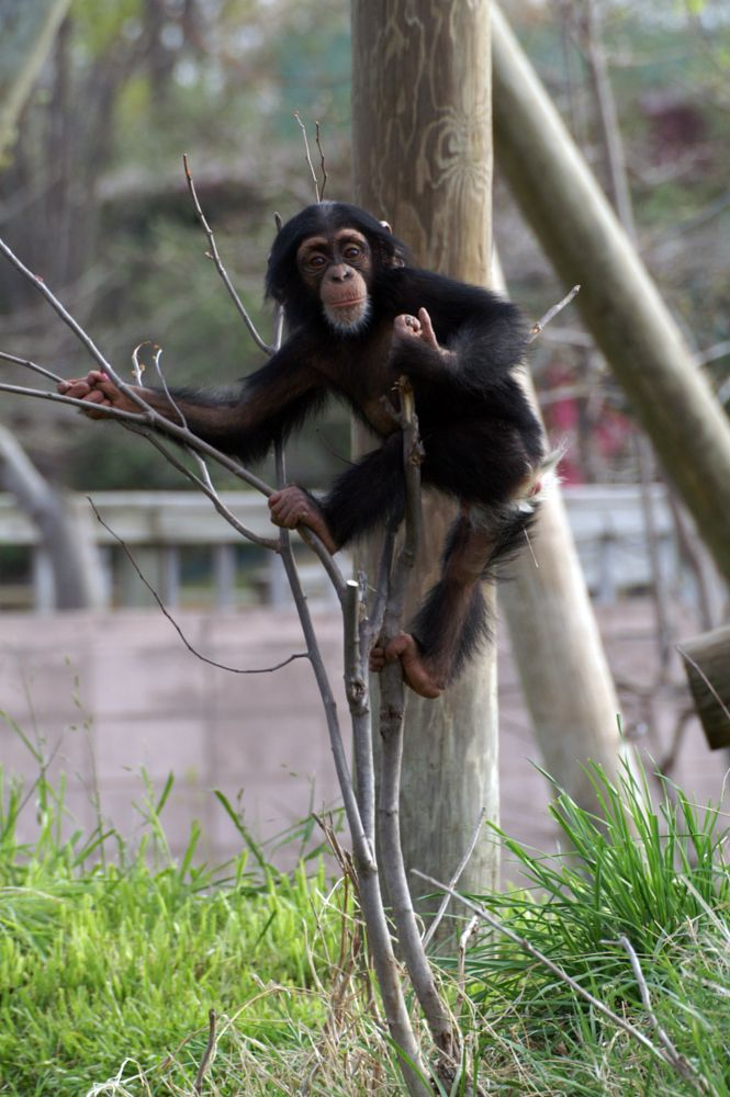 Photo in Animal #chimp #chimpanzee #baby chimp #baby chimpanzee #animal