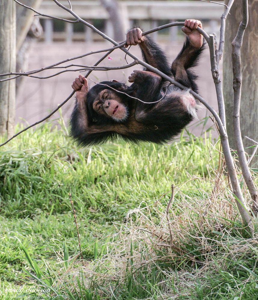 Photo in Random #chimp #baby chimp #animal