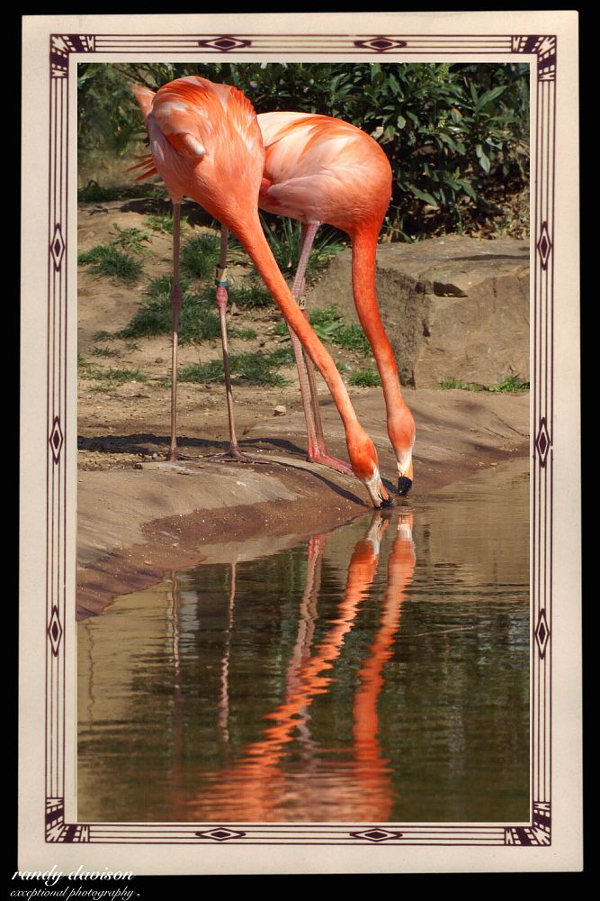 Photo in Random #flamingo #pink flamingo #bird #an