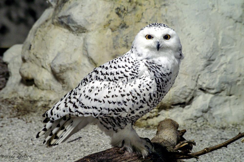 Photo in Animal #owl #snowy owl #bird #wildlife
