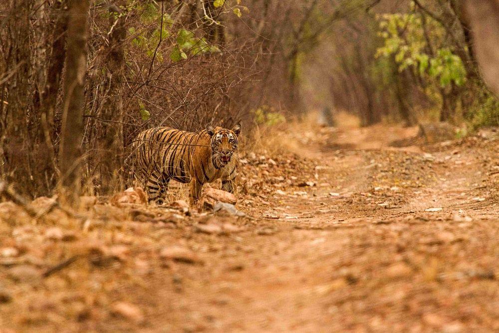 Photo in Animal #tiger #male #predator #wild
