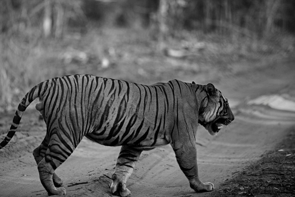 Photo in Animal #male #adult #tiger