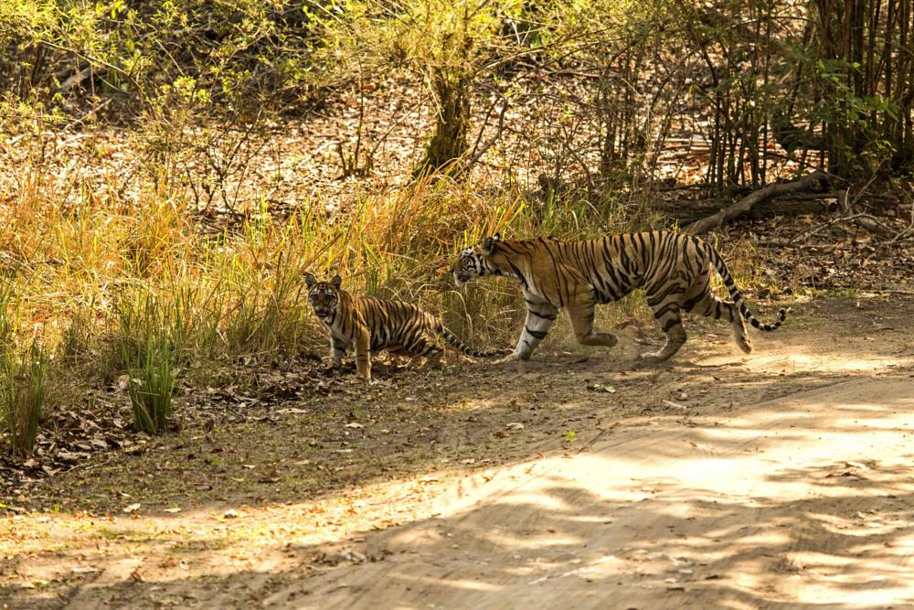 Photo in Animal #mom #and 1 of 3 cubs #being #led #across #in kanha #tiger #reserve