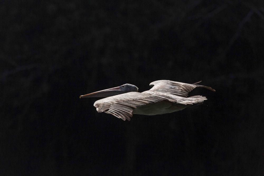 Photo in Animal #spot #billed #pelican