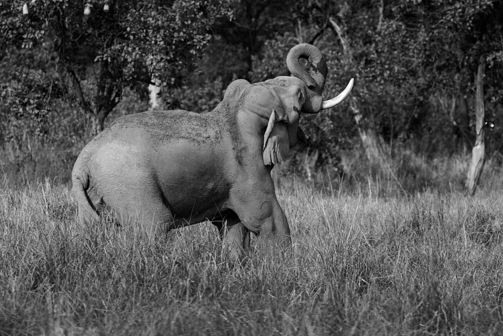 Photo in Animal #elephant #tusker #wild