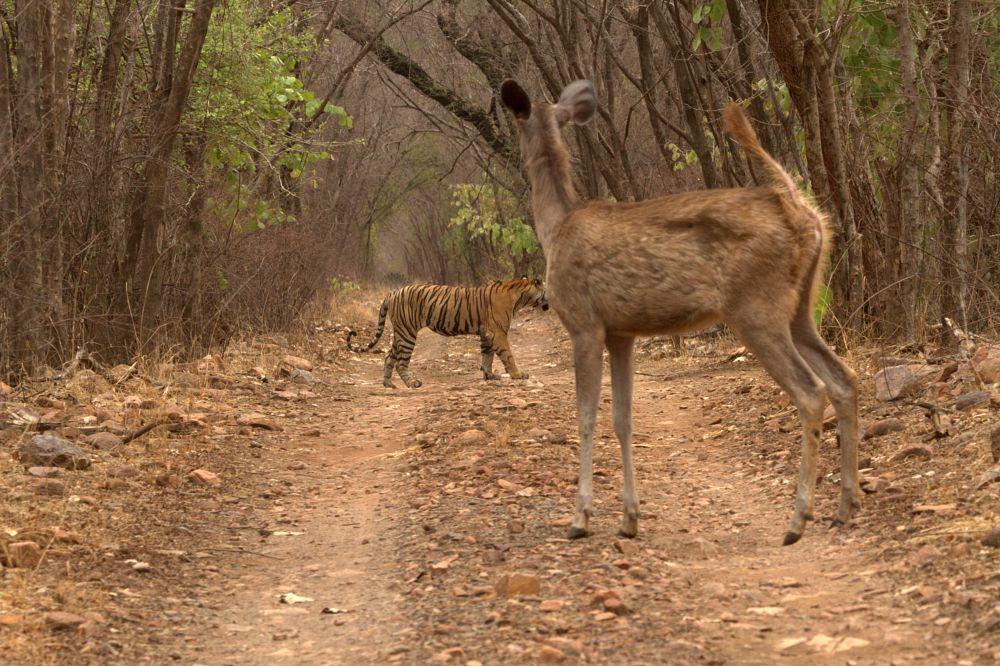 Photo in Animal #sambar #alert #predator