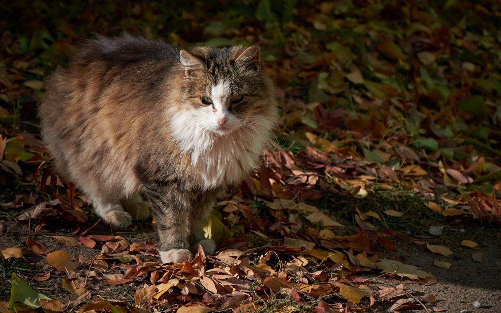 Photo in Animal #cat #animal #fur #autumn #leaves