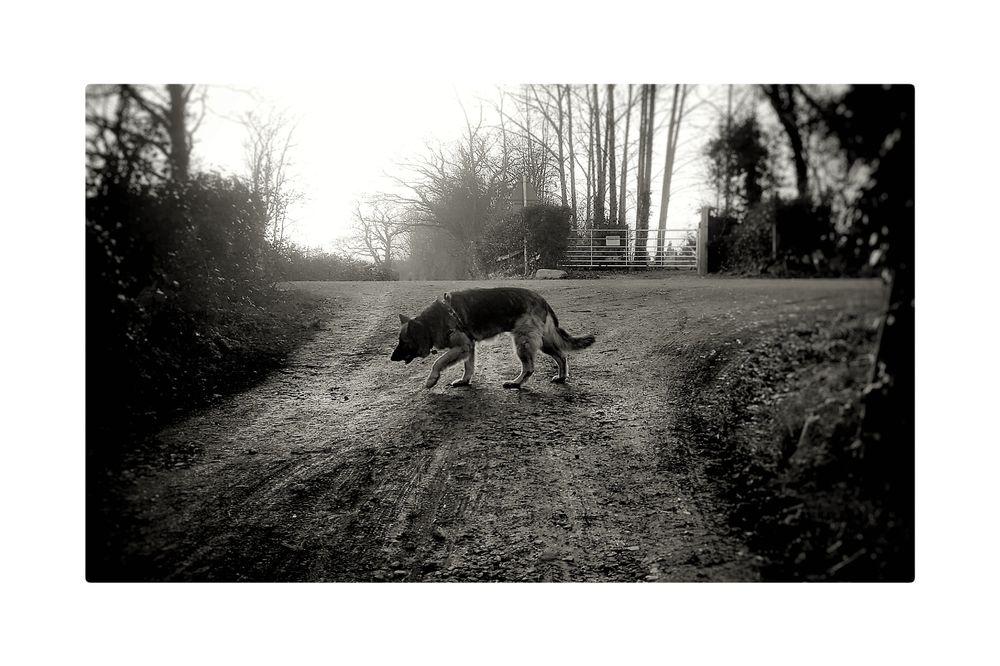 Photo in Black and White #dog #alsatian #german shepherd #bw