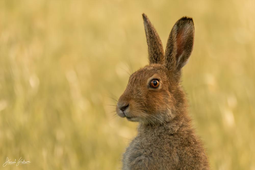 Photo in Animal #irishhare #hare #animal #animals #wild #wildlife #mammal #green #ireland #summer #grass #nature