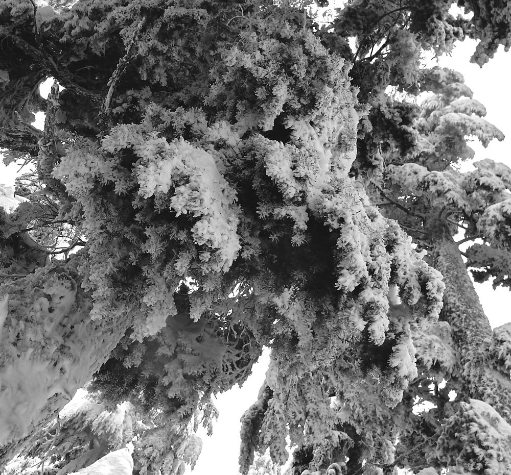 Photo in Black and White #boughs #snow #evergreen #winter #cold #nature #detail #looking up #black and white #close-up