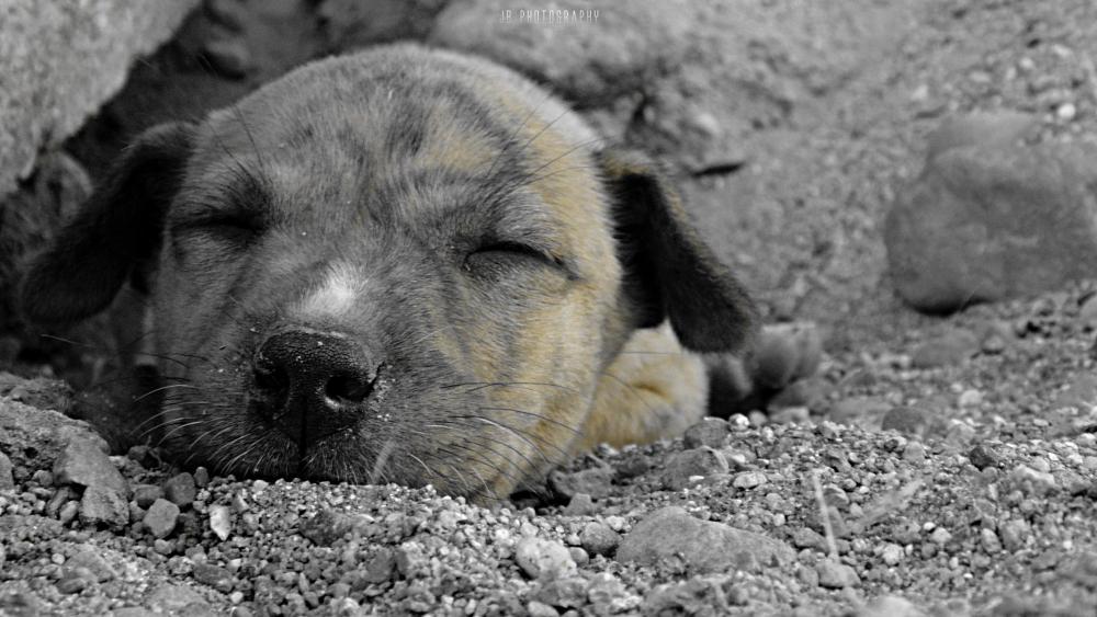 Photo in Animal #dog #dream #sleep #little #puppy #brown #ground #rocks
