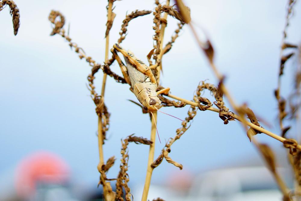 Photo in Nature #grasshopper #macro