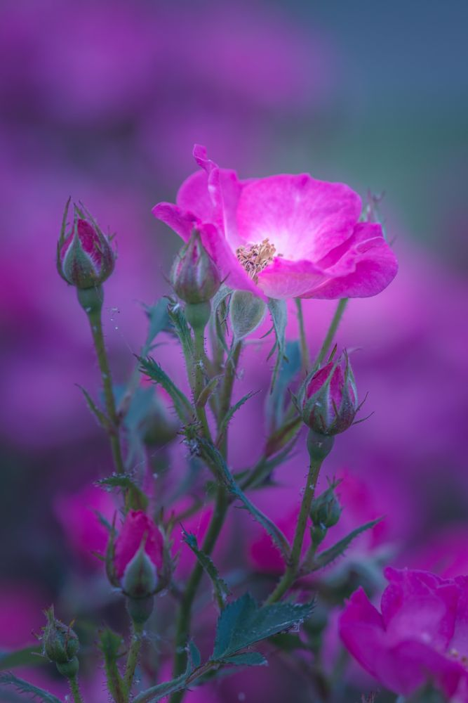 Photo in Nature #flowers #rose #colours #beautiful