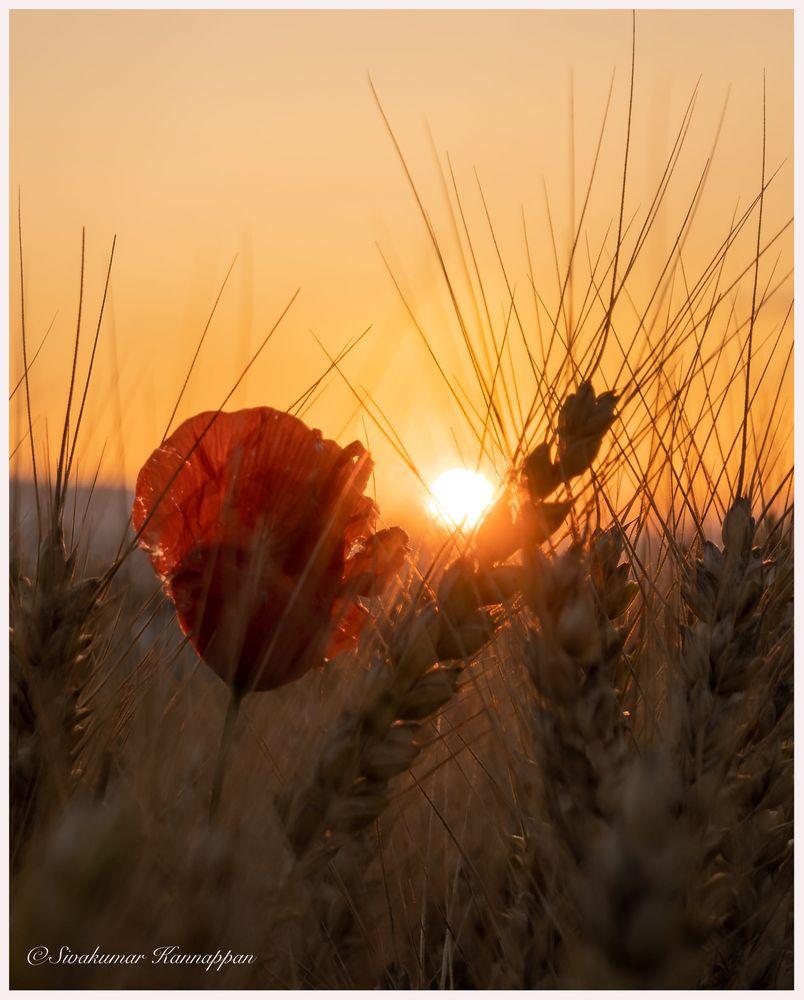 Photo in Nature #sunset #flower #red #sun #light #nikon