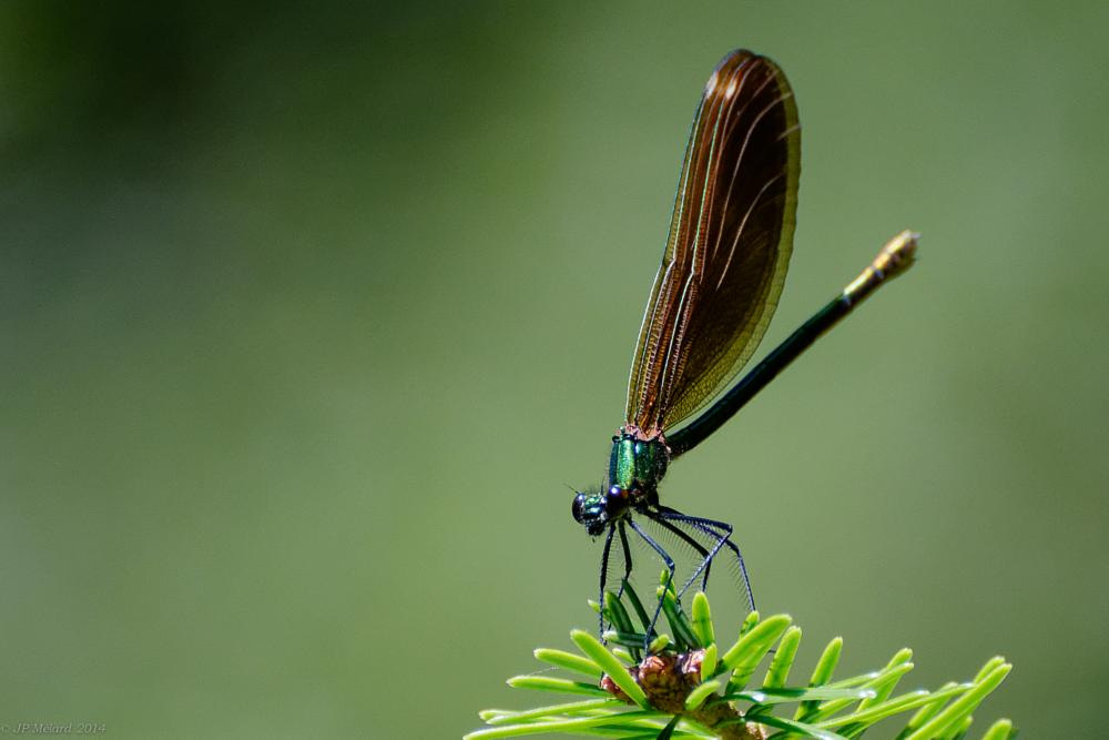 Photo in Nature #nature #switzerland #dragonfly #green #insect #insects