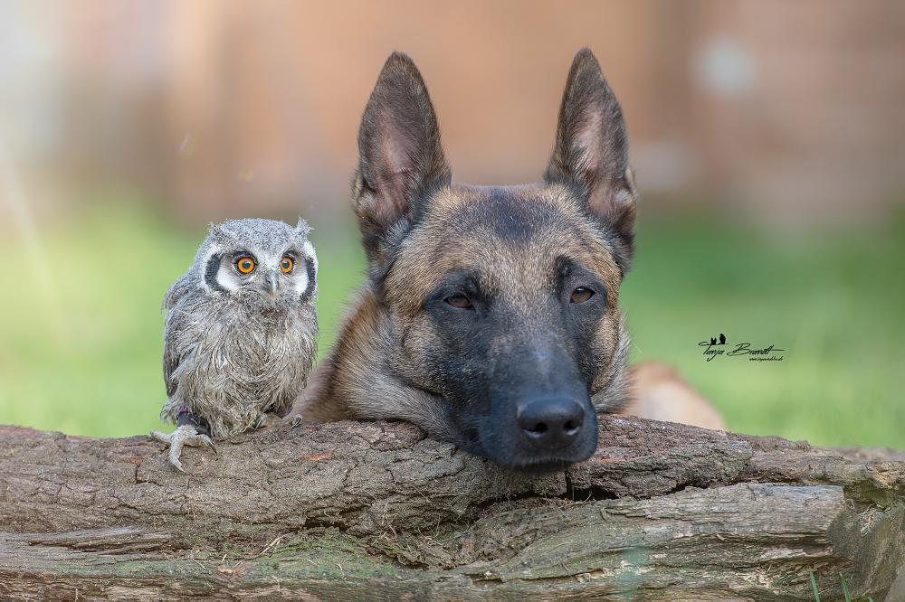 Photo in Animal #www.ingoundelse.de #gandalf #weißgesichtseule #eule #eulen #malinois