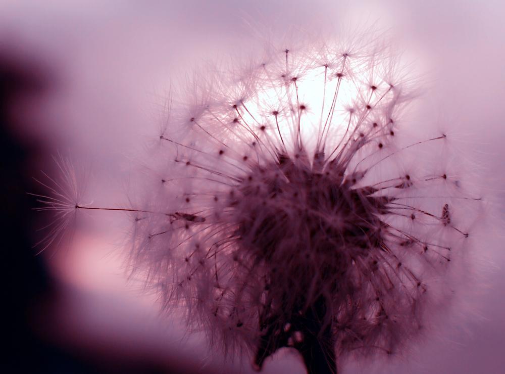 Photo in Still Life #dandelion #nature #still life #summer #colors #fujifilm