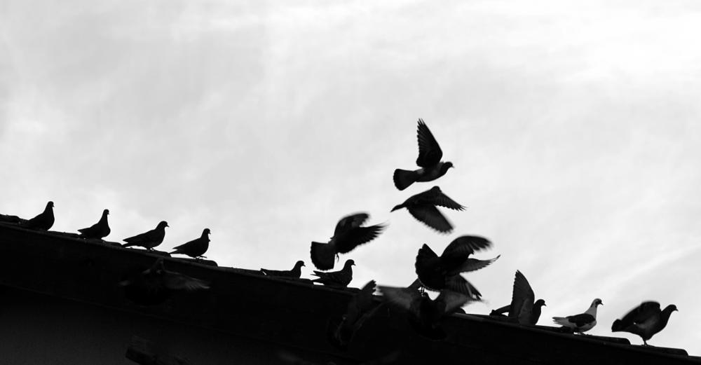 Photo in Fine Art #birds #flight #black and white #animal #doves #pigon #nature #magic #roof