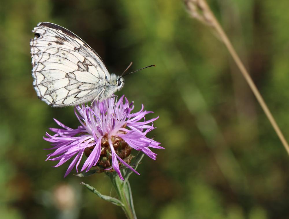 Photo in Random #100 mm #70d #demi-deuil #marbled white #melanargia galathea #butterfly #canon #fleur #flower #insect #insecte #lepidoptère #macro #nature #papillon #série l #wildlife #échiquier commun