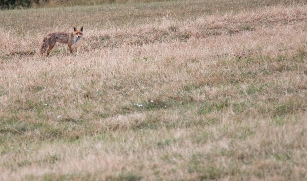 Photo in Random #150-600 #70d #renard roux #vulpes vulpes #animals #canon #mammals #mammifère #nature #red fox #tamron #wildlife