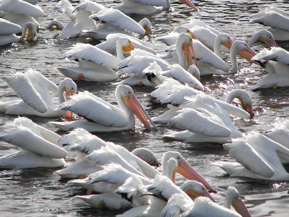 Photo in Animal #white #pelicans #frenzy #water
