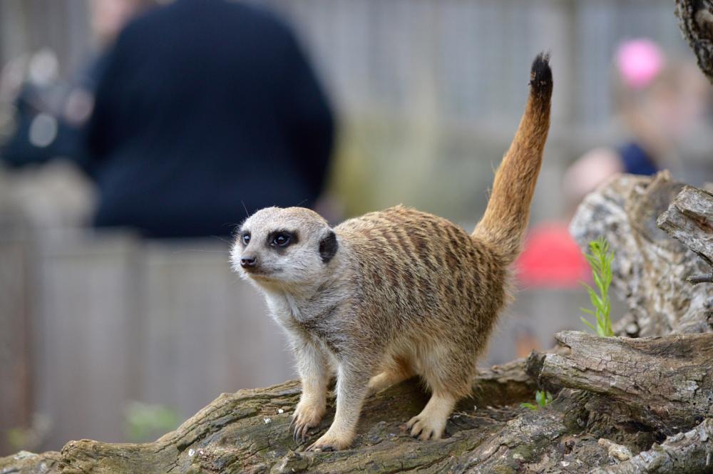 Photo in Animal #meerkat #zoo #marwell zoo