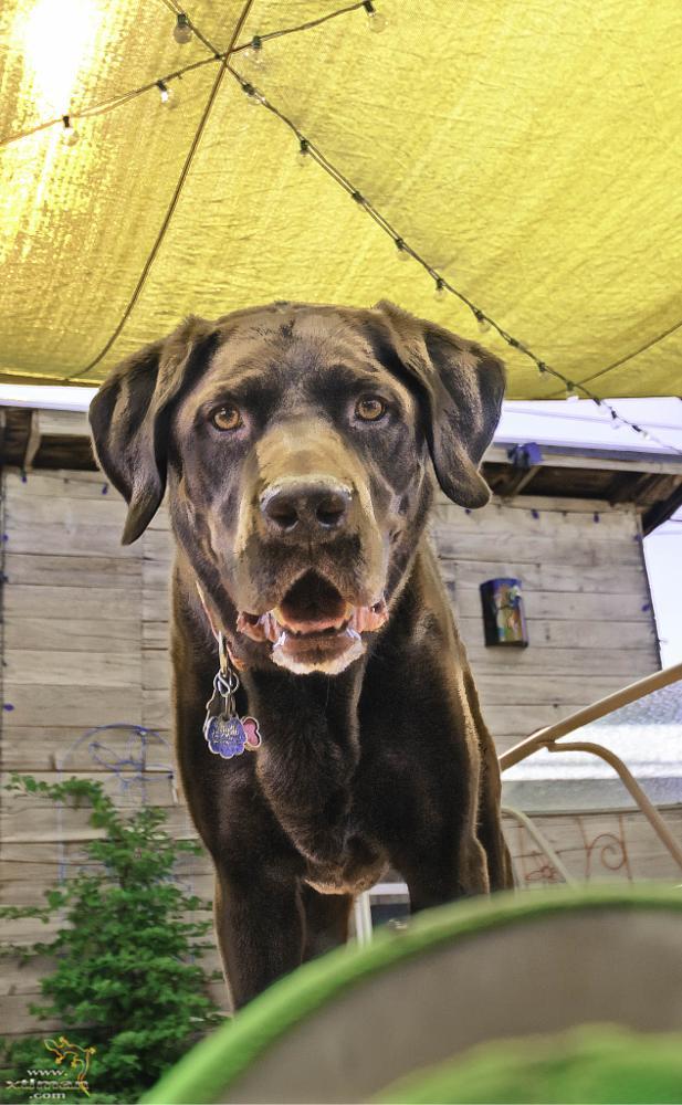 Photo in Random #dog #lab #chocolate lab #ball #play #backyard #summer #canine #animals #pets