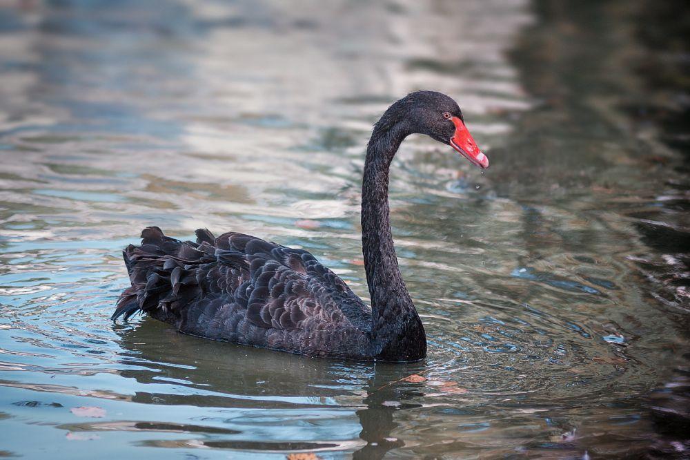 Photo in Animal #lovely #black #bird #swan #water #nature #kiev #ukraine