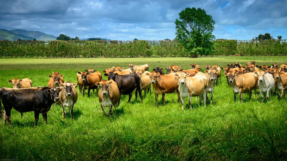 Photo in Travel #new zealand #ranch #farm #cows
