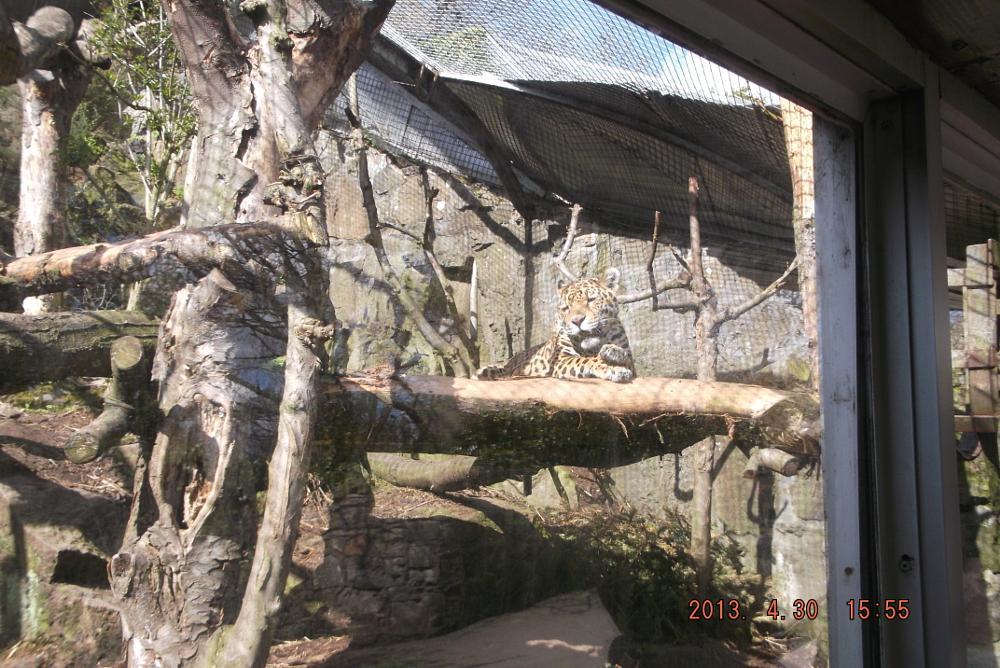 Photo in Animal #cheetah #cat #yellow #big #spots #edinburgh #zoo #scotland