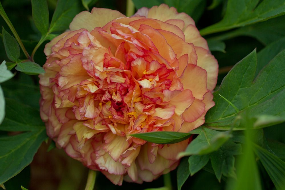 Photo in Nature #peaony #pink & peach #beauty #summer flower