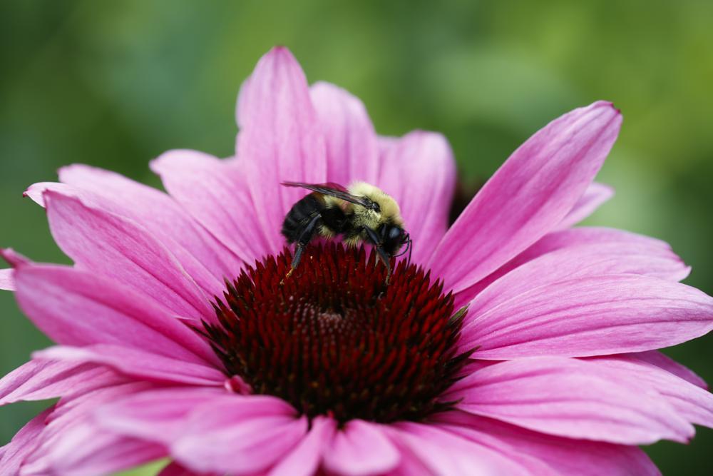 Photo in Macro #honey bee #180mm #coneflowers #texture #colors #petals #pink #purple #canon macro #nybg