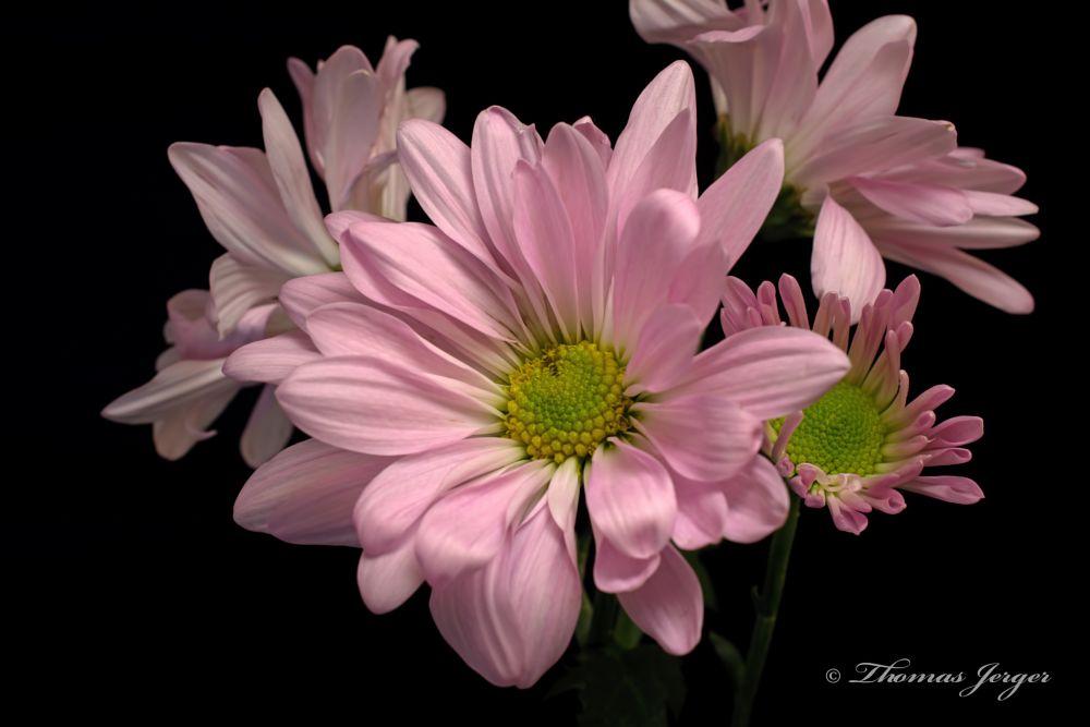 Photo in Macro #flower #bloom #daisy #group #bunch #petals #stem #stamen #pistil #plant #flora #nature #black background #portrait #pink #green #black #yellow #winter #wisconsin #macro #closeup