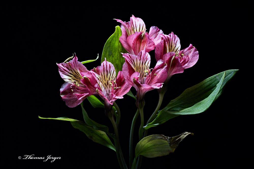Photo in Macro #flower #bloom #alstroemeria #petals #stem #leaves #purple #black #green #yellow #black background #portrait #spring #wisconsin #macro #closeup