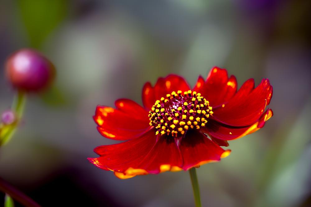 Photo in Macro #correopsis #flower #bloom #petals #stem #bud #nature #garden #flora #plant #red #green #yellow #white #spring #wisconsin #macro #closeup