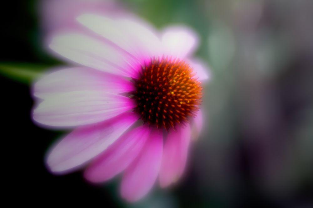 Photo in Macro #flower #bloom #brightly #coneflower #soft focus #garden #plant #nature #flora #green #gray #pink #orange #summer #wisconsin #macro #closeup