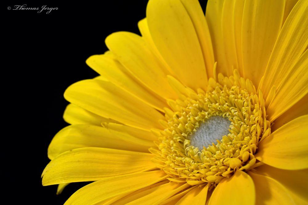 Photo in Macro #flower #bloom #blooming #gerbera #daisy #petals #stamen #pistils #plant #nature #flora #black background #portrait #black #yellow #white #facing #sun #winter #wisconsin #macro #closeup