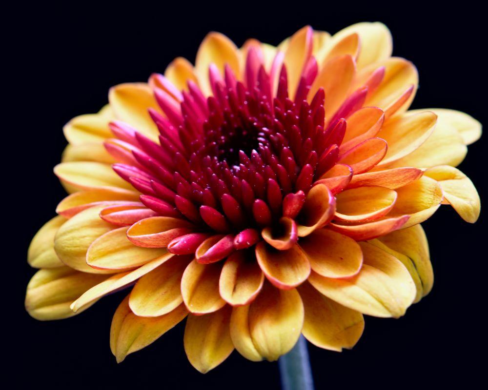 Photo in Macro #nature #black #black background #bloom #closeup #fall #flora #flower #green #macro #mum #orange #petals #plant #portrait #purple #stem #wisconsin #yellow #invitation #cream