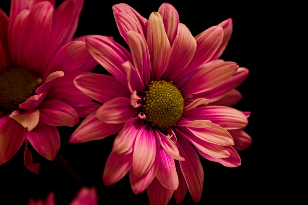 Photo in Random #flower #bloom #blooming #soft #softly #daisy #petals #plant #nature #flora #black background #portrait #black #pink #yellow #fall #wisconsin #macro #closeup