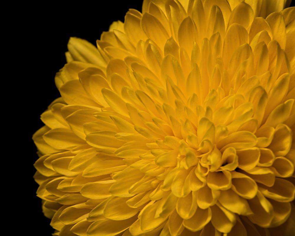 Photo in Macro #nature #flower #bloom #blooming #plant #natural #flora #floral #portrait #beautiful #beauty #black #wisconsin #macro #closeup #yellow #single #detail #summer #petals #mum #black black background